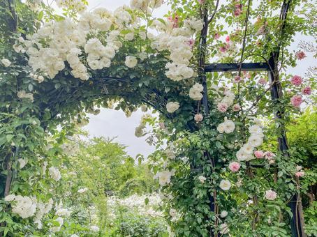 白玫瑰拱門