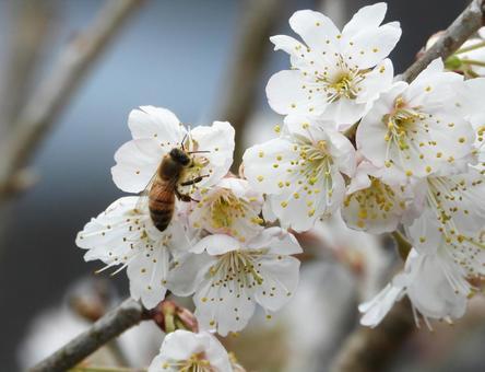 벚나무의 꽃 (체리 꽃)와 꿀벌 (꿀벌)