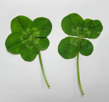 Yotsuba four-leaf four-leaf yotsuba five-leaf five-leaf clover five-leaf clover green midori spring grass