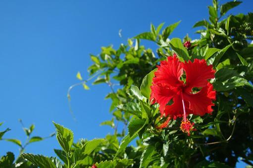 Vivid hibiscus on Kikaijima, a tropical island