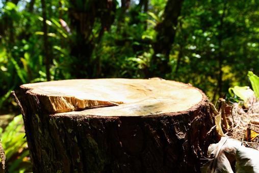 소나무의 그루터기