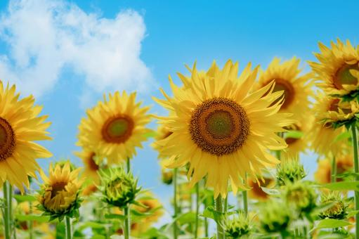 Sunflower field in full bloom and blue sky