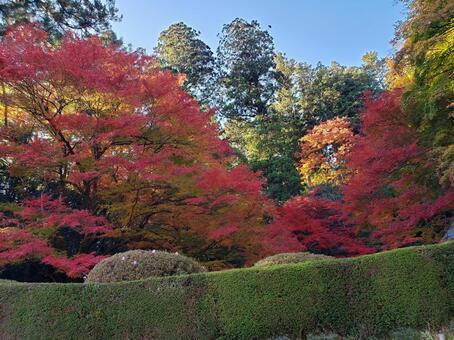 Maple leaves of Yoshimizuen Garden