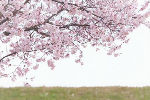 Cherry blossoms on the bank