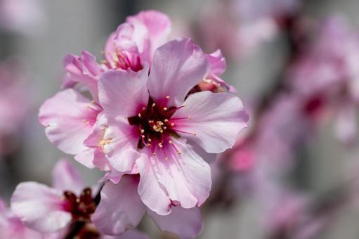 풍경 소재 화려한 아몬드 꽃