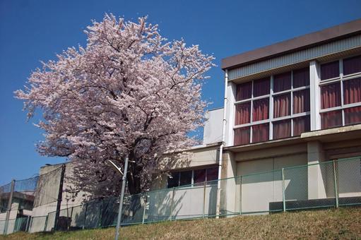 """Walking around Koganehara · Spring """"Sakura"""" # 67"""