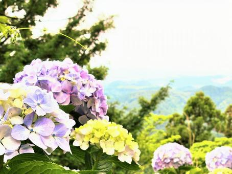 Hydrangea blooming in the mountains 2
