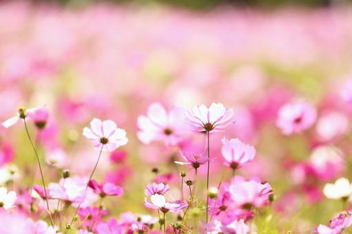 Autumn cherry blossom cosmos autumn flower