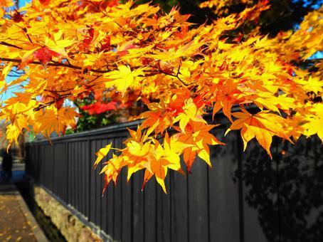 黑籬笆和秋葉