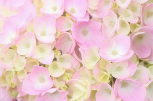 Pink Hydrangea 5