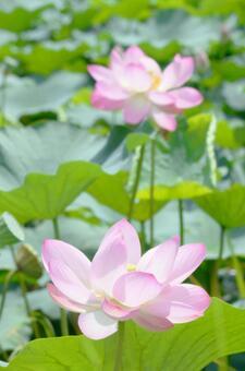 透明感のあるハスの花