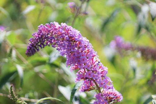 Buddleja flowers bathed in the sun