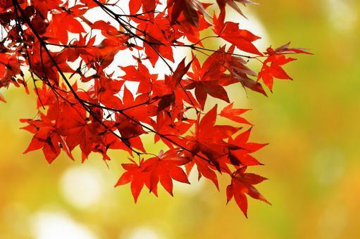 Autumn leaves, Momiji