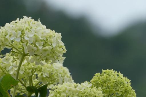 Hydrangea flower Annabel