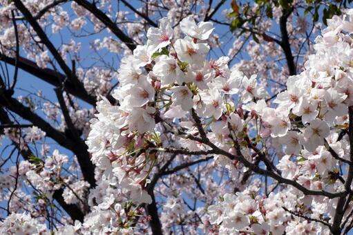 Cherry blossoms # 09