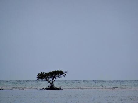海中的紅樹林