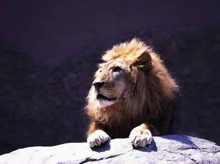 Lion, King of Beasts