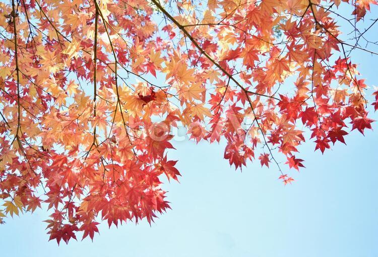 紅葉 青空 見上げるの写真