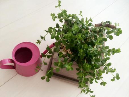 室內植物和Joro