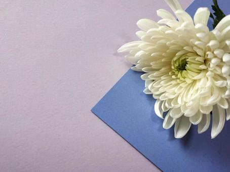 White chrysanthemum ①