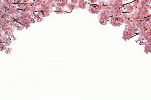 Sakura collection background upper half (available through psd background)