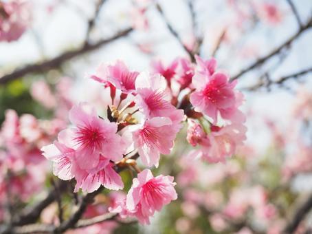 Okinawan cherry blossoms, scarlet cherry blossoms (hikan), cold scarlet cherry blossoms (kanhi)