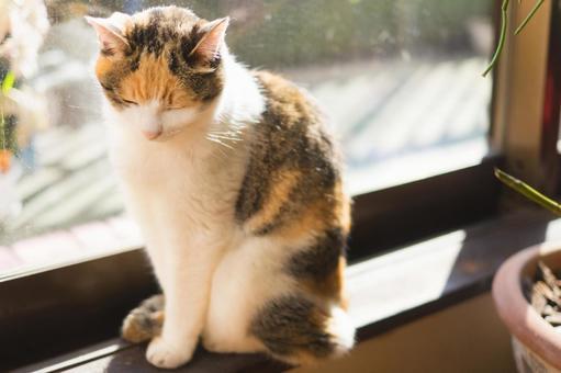일광욕하는 삼색 털 고양이 케 메코