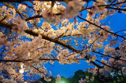夜晚的櫻花