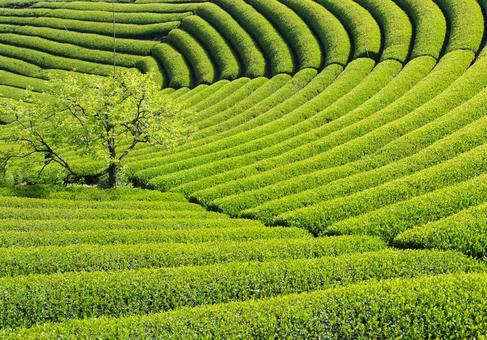 Fresh green tea plantation