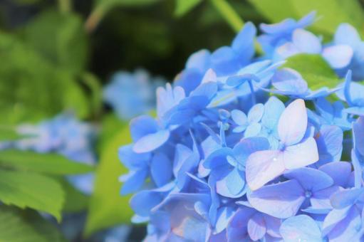 被淡蓝色治愈的美丽绣球花
