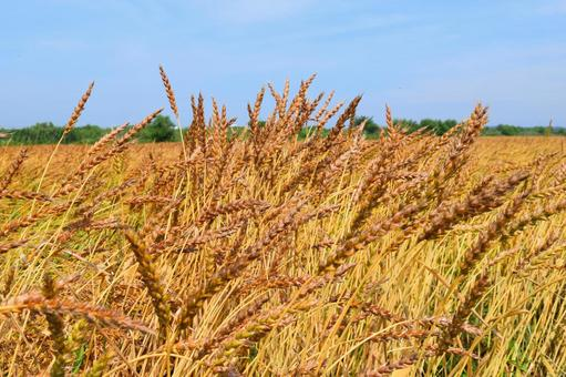Wheat cultivation golden color