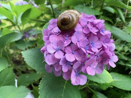 雨季繡球花和蝸牛