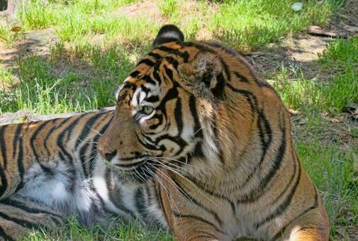 Tiger's profile