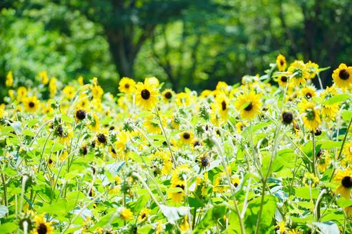 Sunflower field in the forest