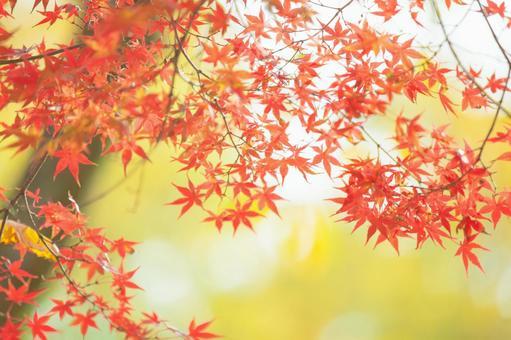 Maple leaves 19