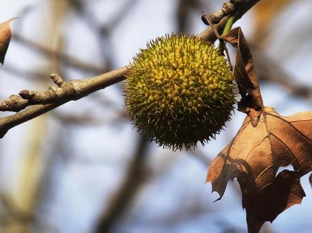 Platanus fruit 1
