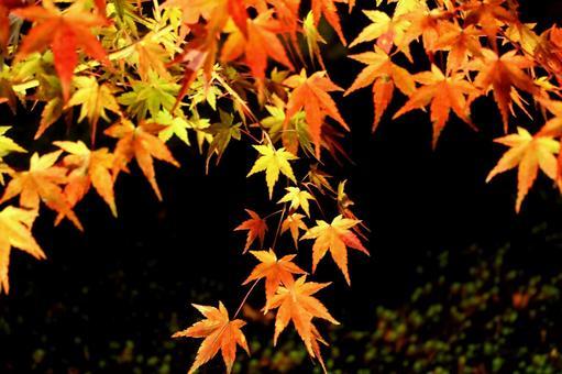 Light up Maple