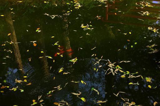 Leafy pond and carp