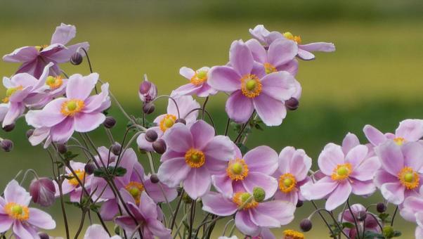 Japanese anemone flower pink 3
