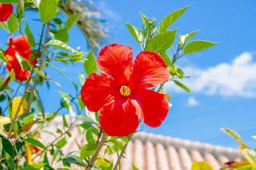 【Okinawa ☆ Hibiscus】