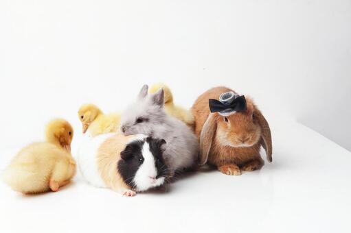 兔子和鸭子和豚鼠1