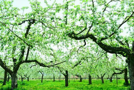 An apple flower 11