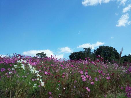코스모스 밭