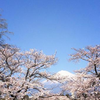 Sakura and Mt. Fuji 1