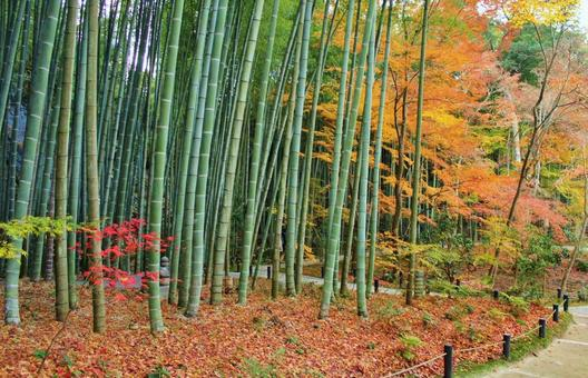 Autumn leaves and bamboo grove of Enkoji Temple