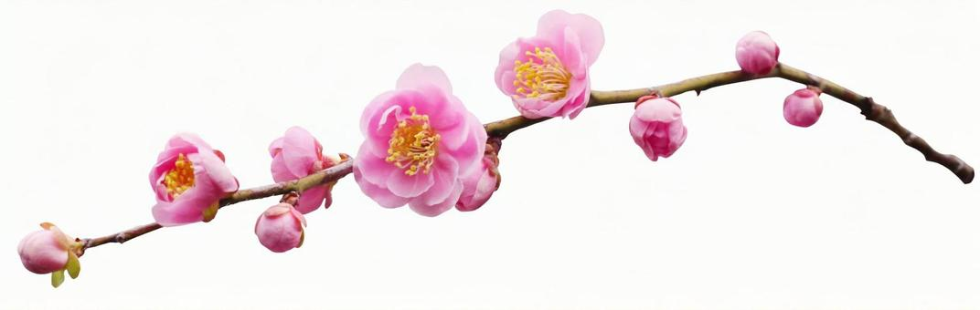Plum branch (PSD with background transmission, clipping path included)
