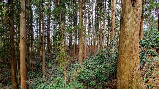 카오산 나무