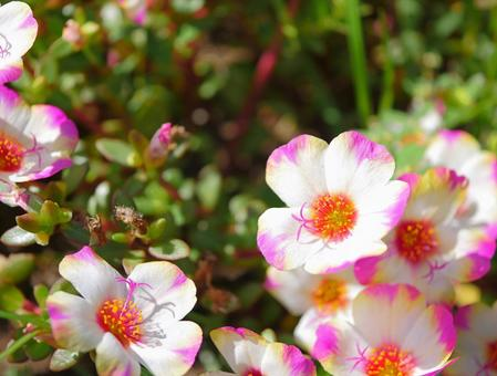 Portulaca 3 White and Pink