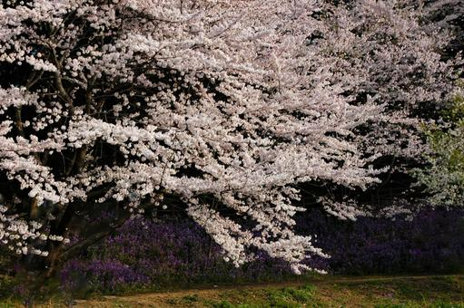 Cherry blossoms in full bloom and purple flowers