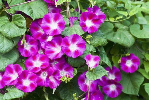 꽃 나팔꽃